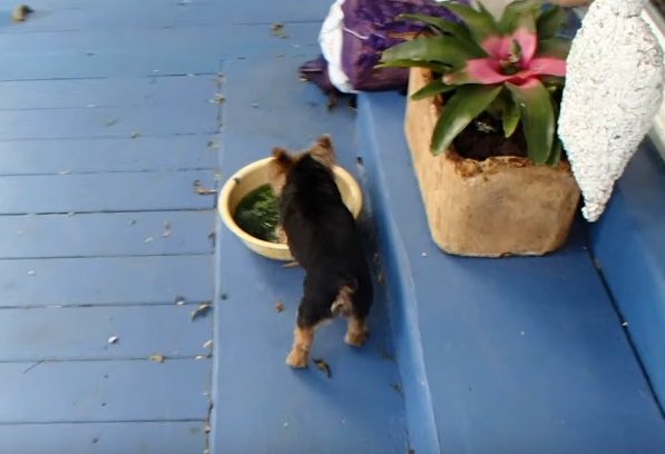 OMG! Watch the cutest thing this yorkie does to his water bowl on a hot day!