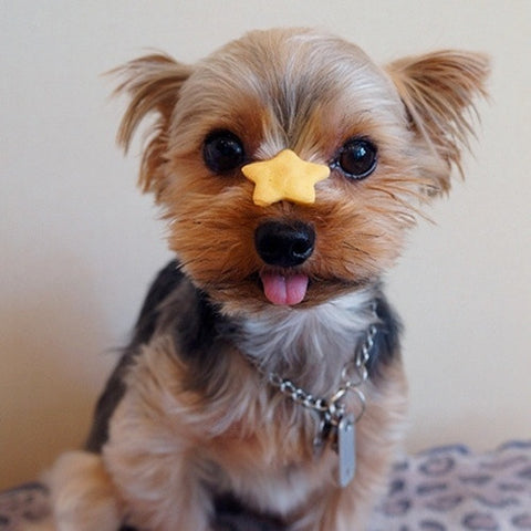 Funny Yorkie picture