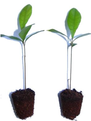 Miracle Fruit Plant - Small (2 plants) - Miracle Fruit USA