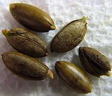 Miracle Fruit Seeds (20 seeds) - Miracle Fruit USA