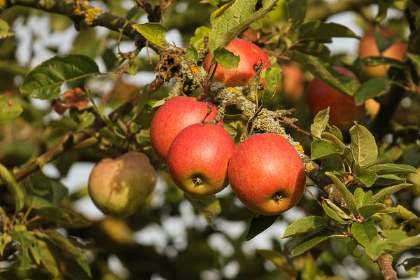 Apple Orchard - Abundance Farm