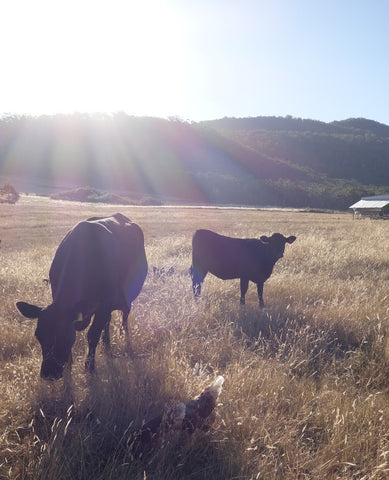 Happy cows and chooks in a diverse regenerative agriculture system
