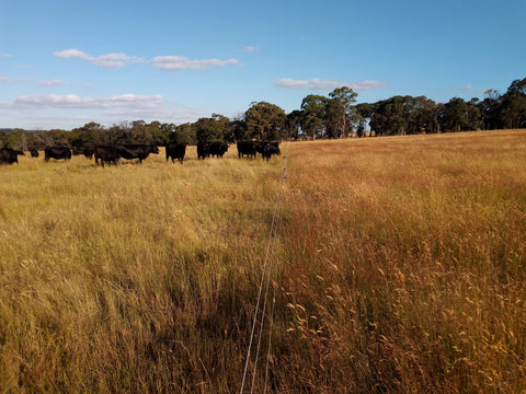 Black angus cattle in a rotational grazing system