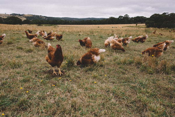 Pasture raised free range eggs - Abundance Farm