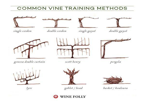 Illustrated grape vine training methods 1118 wines - How to prune and train the grapevine ...