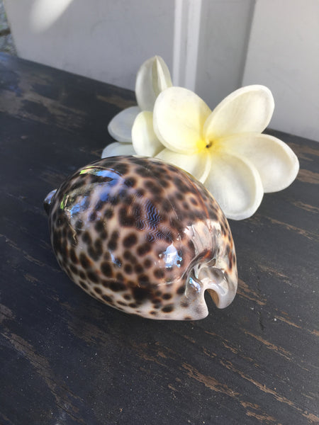 CLEARANCE Giant Cowry Shells
