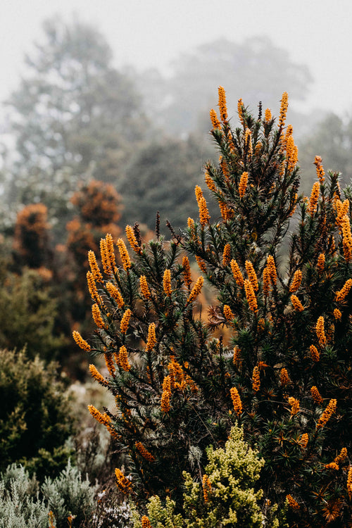 Tasmanian Honey Bush IV Photographic Print