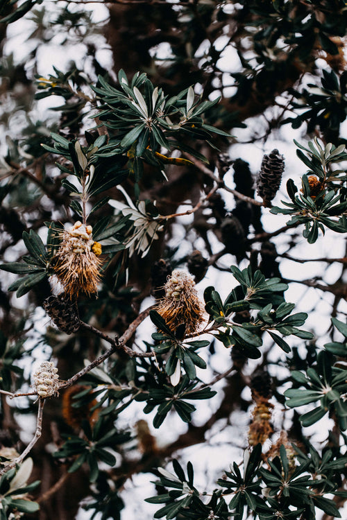 Beachside Banksia Photographic Print