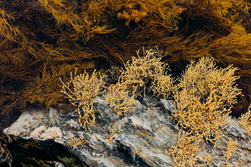 Tasmanian Intertidal Garden II Photographic Print