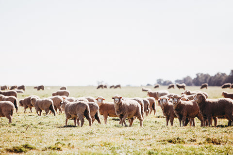 Herd of Sheep Photographic Print