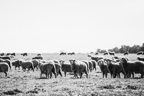 Brushwood Sheep B+W Photographic Print