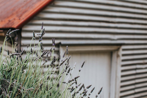 Cottage Lavender Photographic Print