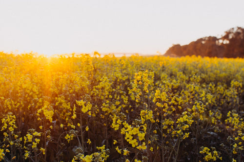 Canola Field I Photographic Print
