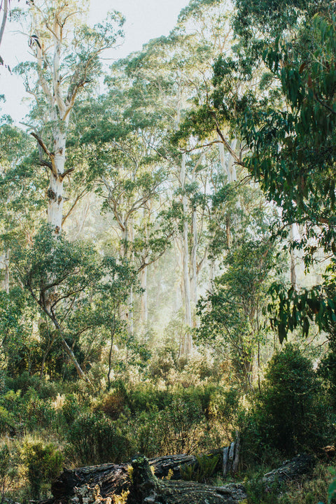 Highland Gumtree Morning Light Photographic Print