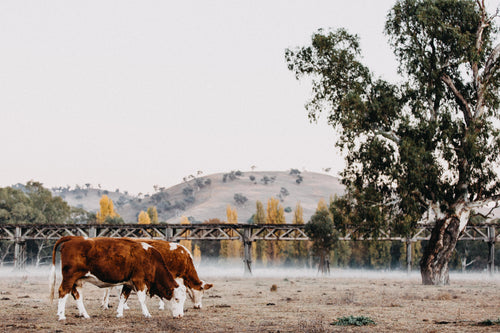 Gundagai Cows by the Bridge Photographic Print