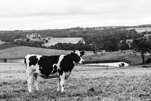Delilah Cow Photographic Print