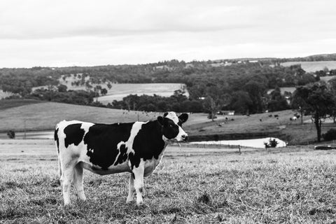 Dolores Dairy Cow Photographic Print