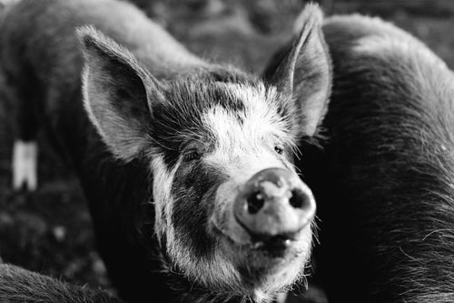 Happy as a Pig in Mud B+W II Photographic Print