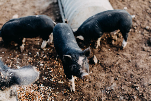 Three Little Pigs Photographic Print