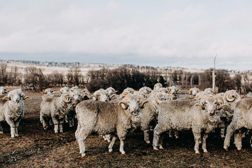 Herd of Rams IV Photographic Print
