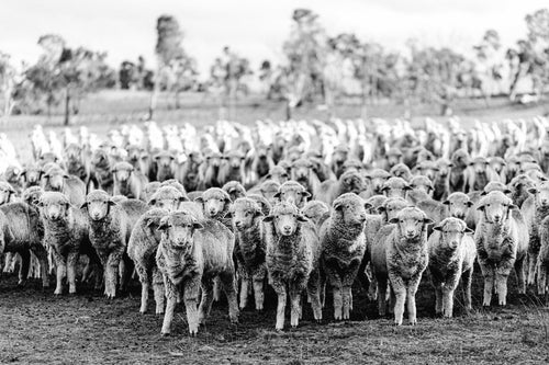 New England Flock of Sheep I B+W Photographic Print