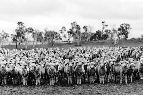 New England Flock of Sheep II B+W Photographic Print