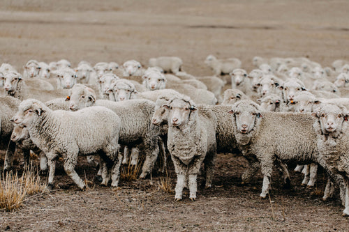New England Flock of Sheep V Photographic Print