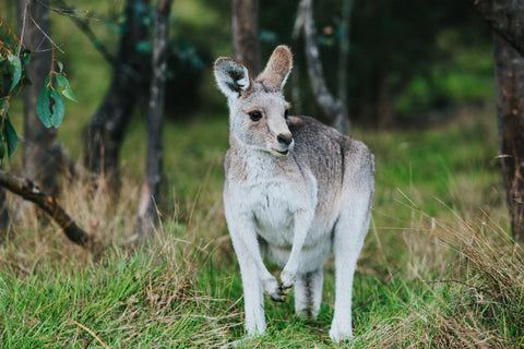 Highland Wild Roo Photographic Print