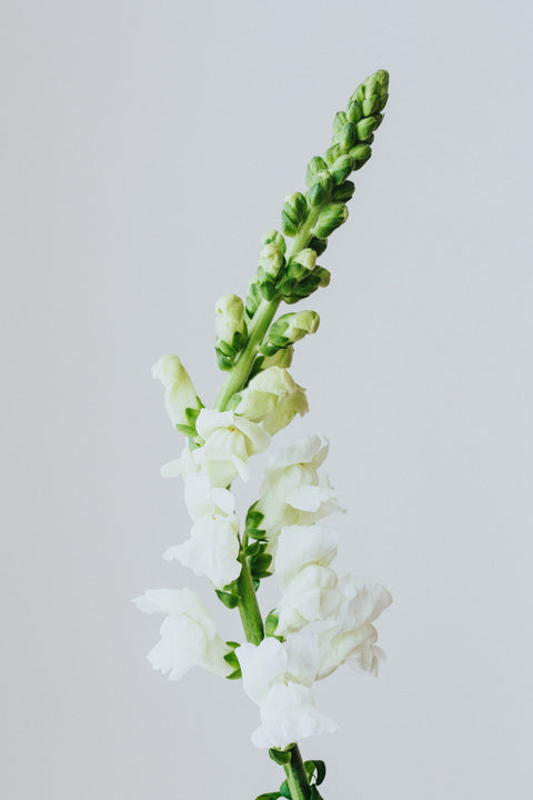 Studio Snapdragon Photographic Print