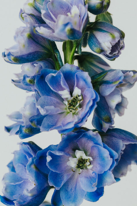 Blue Delphinium Photographic Print