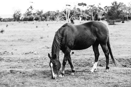 Harriet Horse B+W Photographic Print