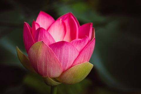 Lotus Botanical Photographic Print