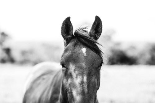 Harlow Horse B+W Photographic Print