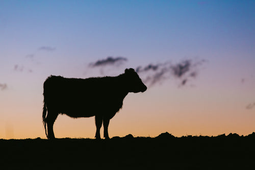 Silhouette Cow Photographic Print