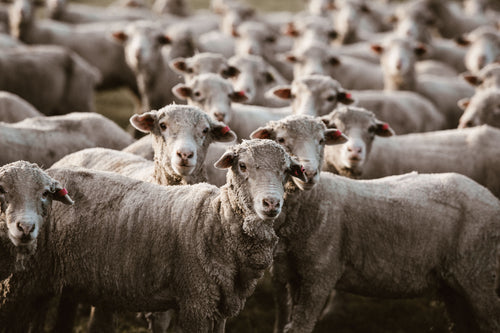 Herd of Sheep III Photographic Print