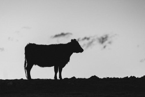 Silhouette Cow Black + White Photographic Print
