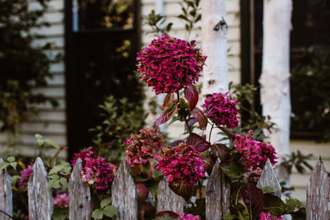 Country Hydrangeas Photographic Print