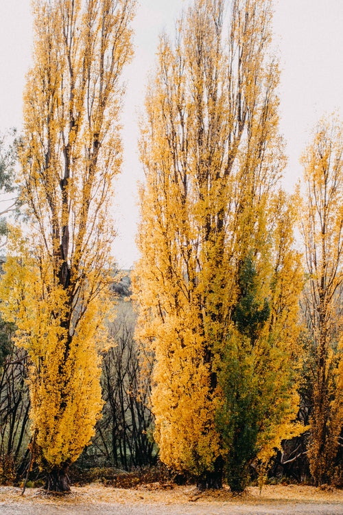 Autumn Poplars II Photographic Print