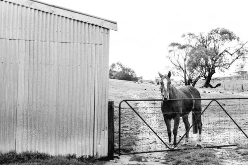 Alice the Horse B+W  Photographic Print