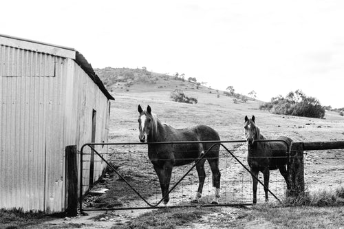 Alice + Eve Horses B+W  Photographic Print
