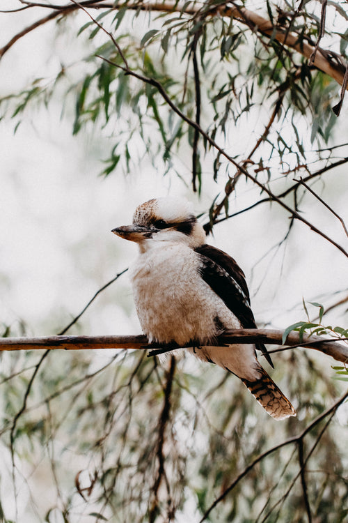 Kookaburra Sitting in the Old Gumtree I Photographic Print
