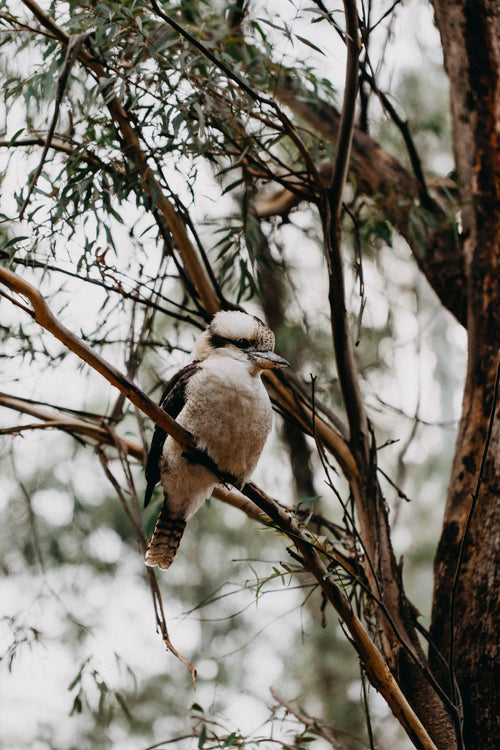 Kookaburra Sitting in the Old Gumtree II Photographic Print