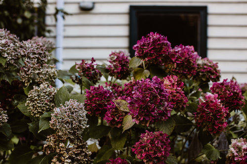 Country Hydrangeas II Photographic Print