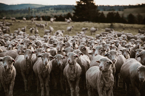Herd of Sheep I Photographic Print