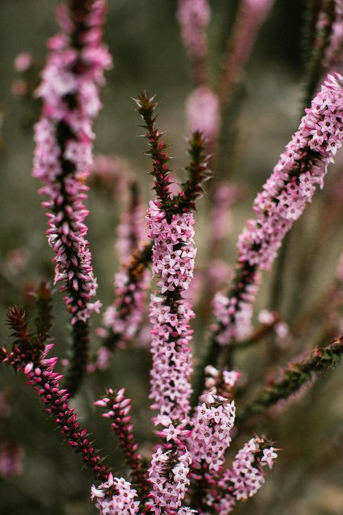 Purple Coral Heath Photographic Print