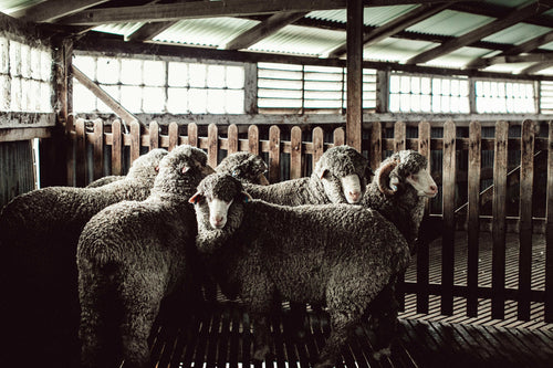 Sheep in Shearing Shed Photographic Print