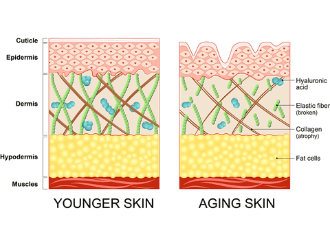 The difference between younger skin and aging skin