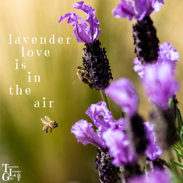 Lavender Love is in the Air at Tasmanian Lavender Gifts