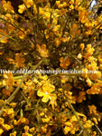 "#LHH16 Day Blooms 23"" Bush In Yellow"