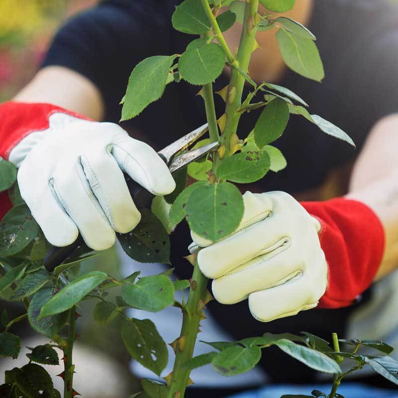 NoCry Gardening Gloves for rose pruning